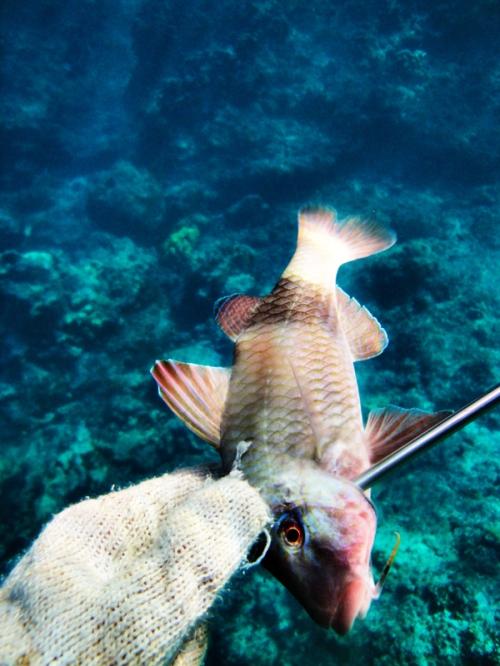 Goat_fish